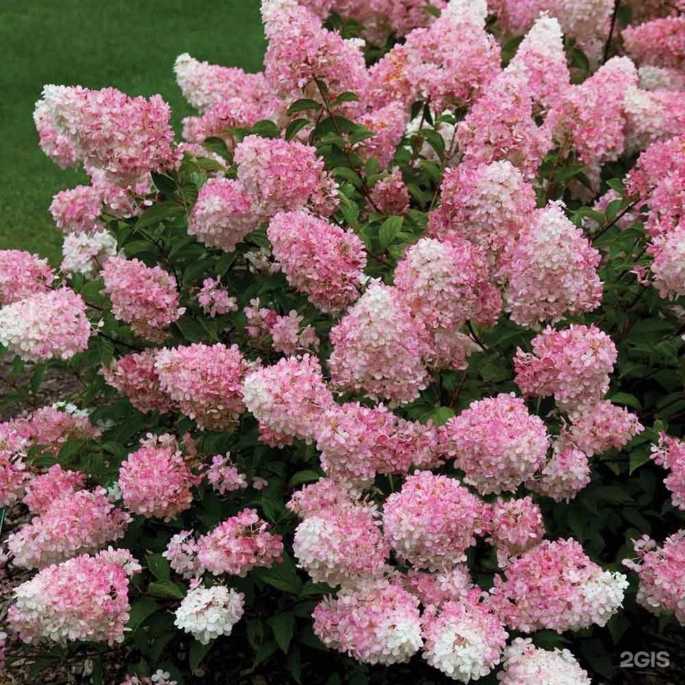интернете вещи, цветущий кустарник фото с названиями в питере можно будет свободно